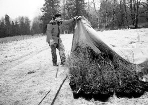 Steve Hinton, director of restoration at Skagit System Cooperative, removes a tarp protecting trees and shrubs from frost. These plants will be placed in the ground as part of restoration effort on the Skagit River. Photo: J. Shaw