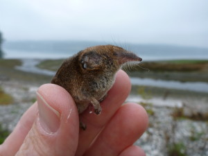 A masked shrew was the smallest animal found during the wildlife survey on Kukutali Preserve