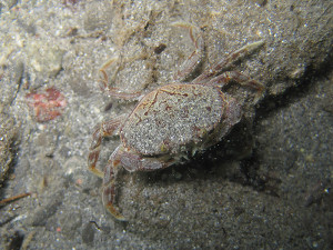 A juvenile dungeness found within the newly formed beaches near the mouth of the Elwha River. Steve Rubin/USGS