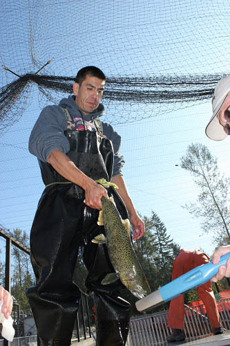 James Miller hoists a chinook salmon at the Muckleshoot Tribe's White River hatchery