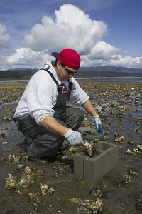 Shellfish technician Josh Hermann loads a cinderblock cell with oyster clusters with oyster drills on them.