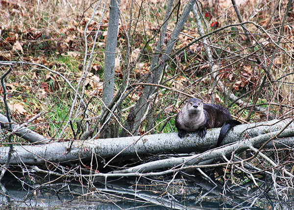Lower Elwha Klallam Tribe Finishes River Otter, American Dipper Study in Elwha River Watershed