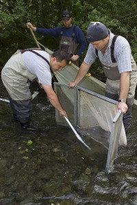 Staff and volunteers from the Skokomish Tribe and NOAA collect steelhead eggs for a long-term steelhead study.