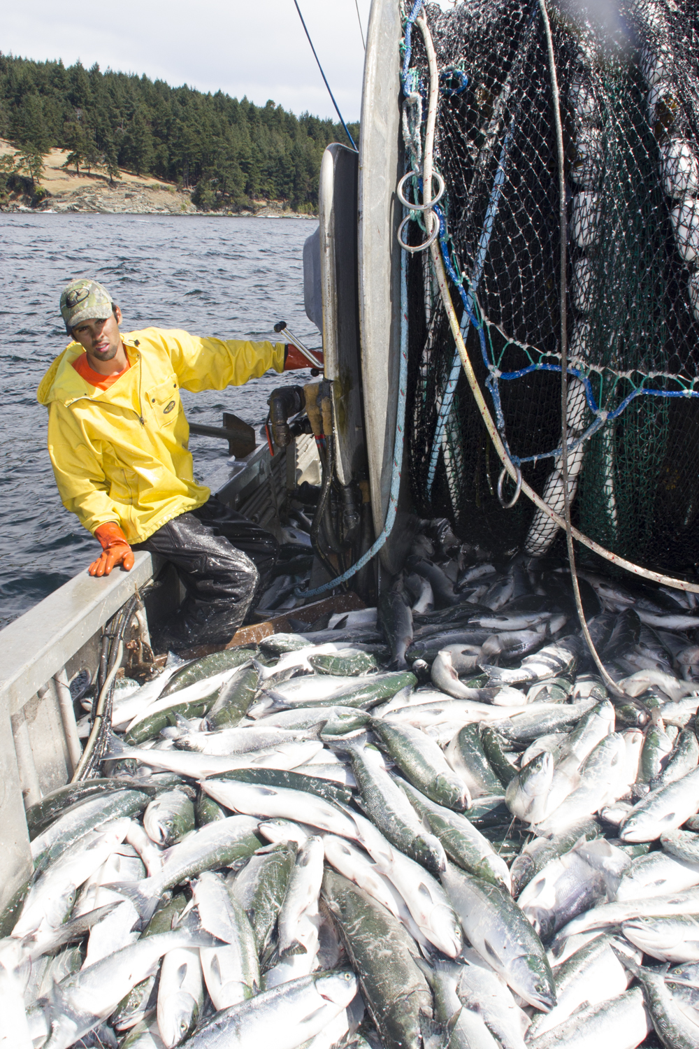 Video: Swinomish tribe harvests Fraser sockeye