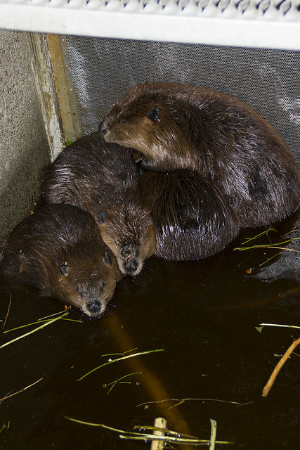 Beavers relocated to improve salmon habitat