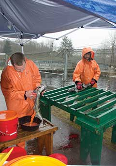 Tulalip Tribes Keep Track of Hatchery Salmon
