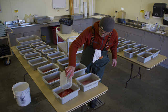 Treaty tribes released 40 million salmon in 2014