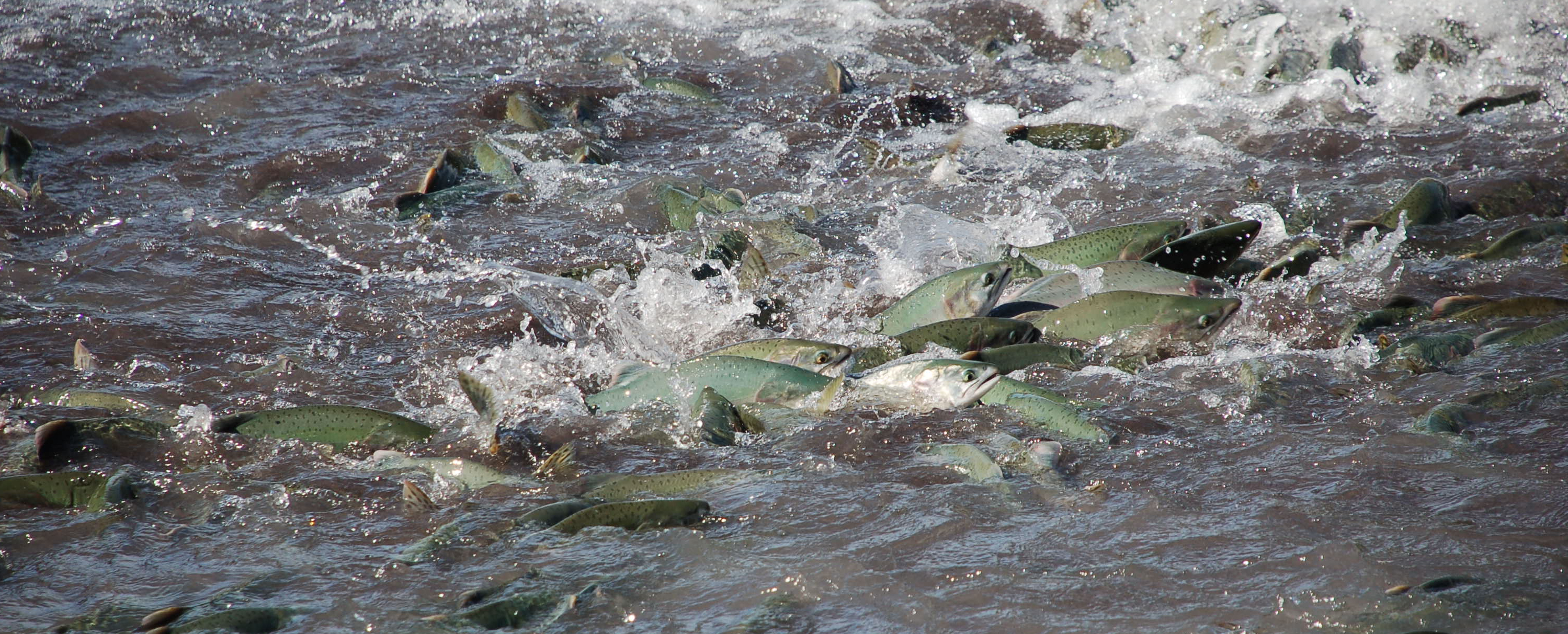 Puyallup Tribe: Will a wall of warm water stop salmon?