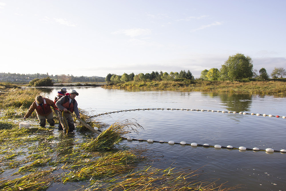 Levee breach improves fish access to entire Snohomish watershed