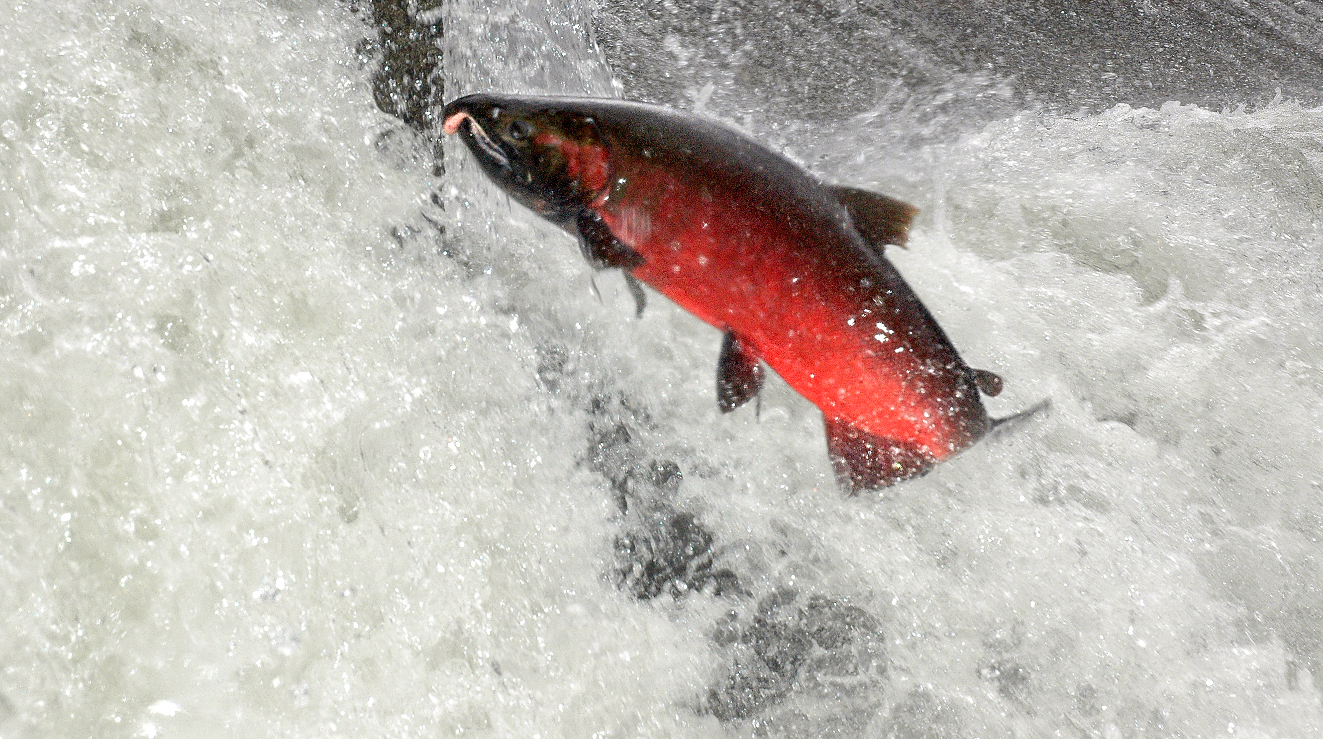 NWIFC Chair receives award for Pacific Salmon Conservation