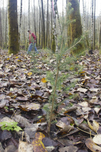 Doug Couvelier, Upper Skagit timber, fish and wildlife biologist, checks on the newly planted spruce trees to make sure they didn't get washed out by heavy November rains.