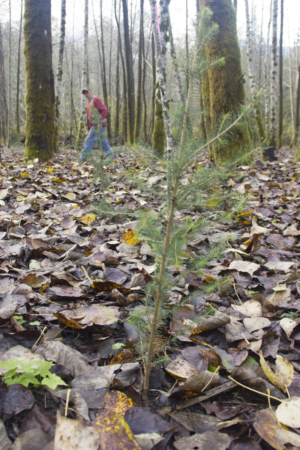 Upper Skagit Tribe Spruces Up Weyerhaeuser Land