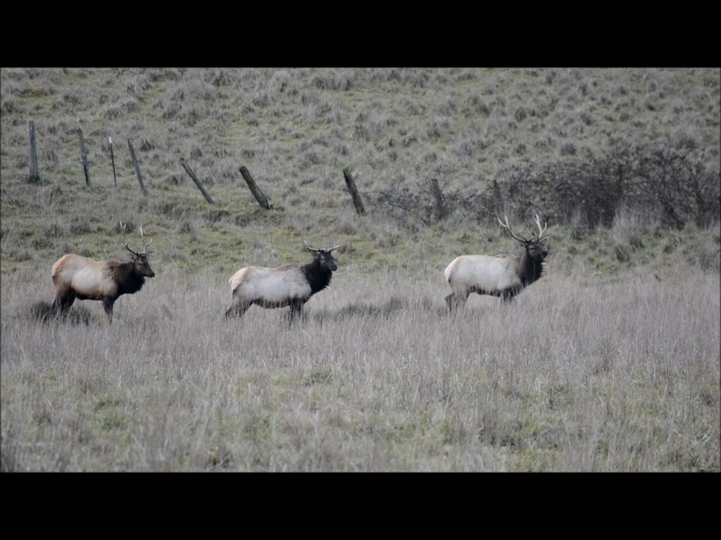 Video: Roosevelt Elk Playing near Sequim