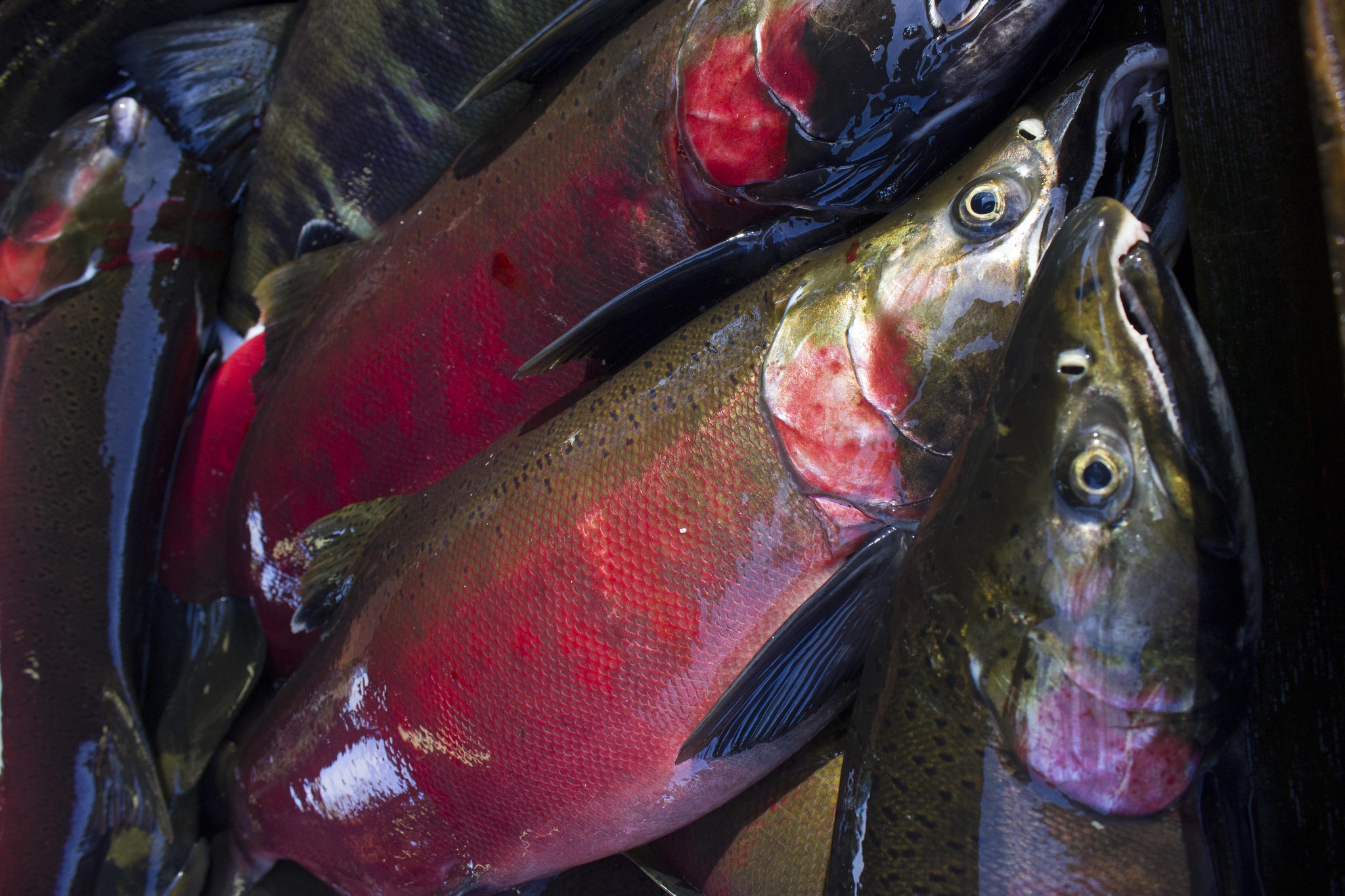 Being Frank: Poor Salmon Returns Expected