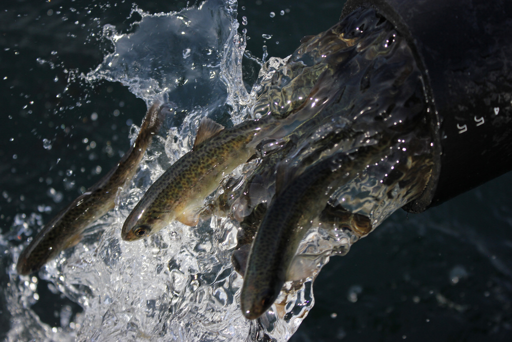 Fishery managers consider closing ocean salmon  seasons due to projected poor coho returns