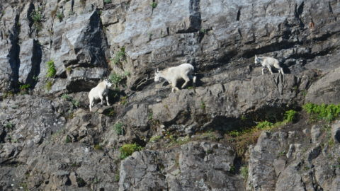 North Cascades mountain goats threatened by climate change