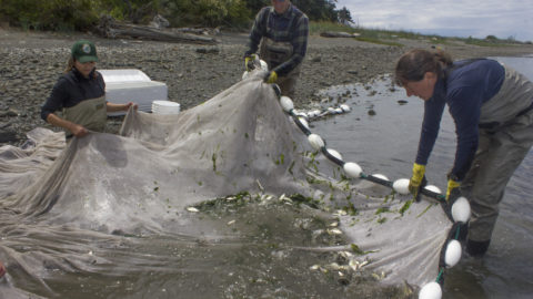 Tribes, WDFW Studying Toxics Absorbed by Juvenile Chinook
