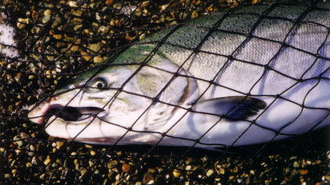 Wild coho going back in the water