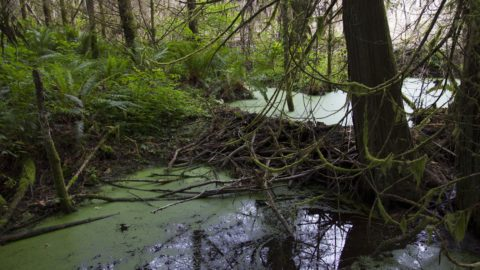 Beavers Contributing to Increased Water Resources
