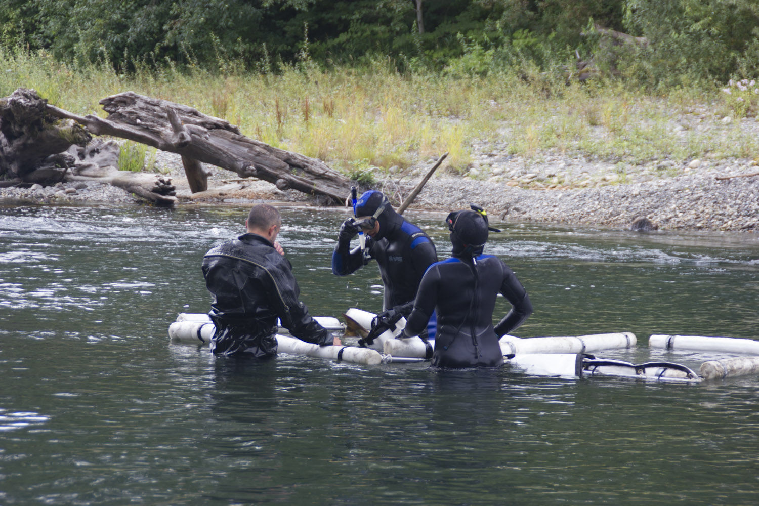 Video: Stillaguamish Tribe's entire natural resources department collects chinook broodstock