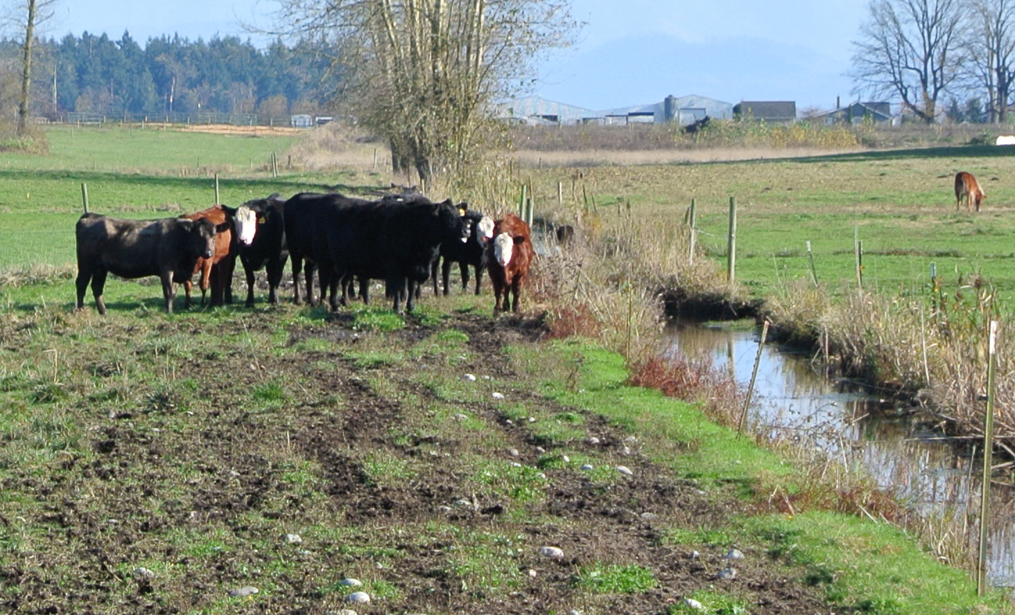 Why streamside buffers are voluntary for farms in Washington State