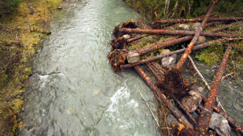 Jamestown S'Klallam Tribe Gives Gray Wolf River a Log Boost