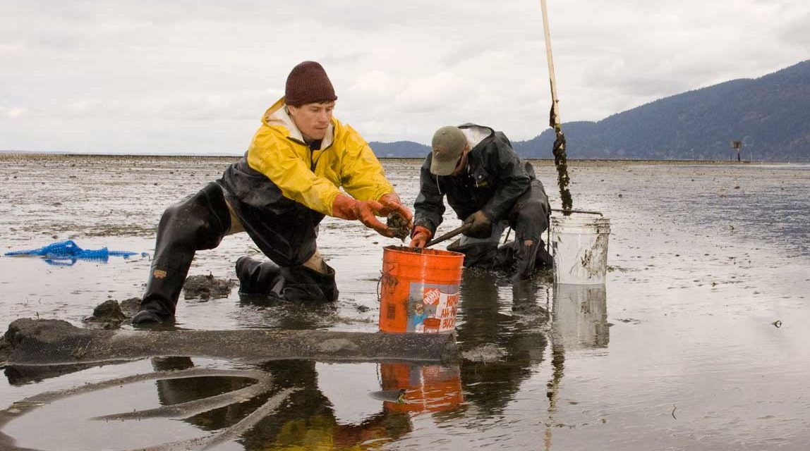 State of Our Watersheds: Samish Bay Pollution Impedes Tribal Harvest