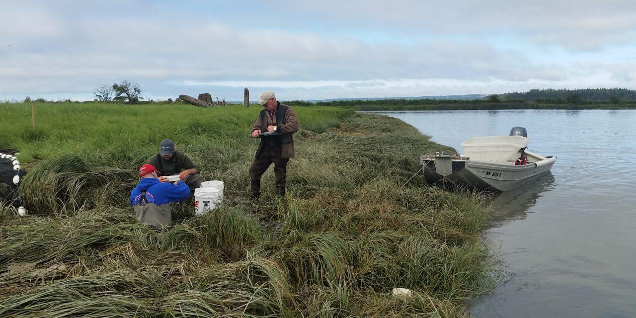 Stillaguamish restoration restores wetlands, protects farmland