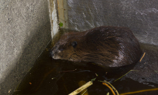 Beaver relocation expands west of the Cascades