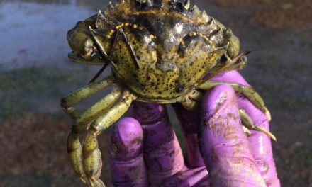 Tribes join effort to monitor for invasive green crabs