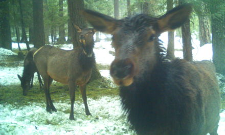 Snowy Winter Creates Difficult Conditions for Elk