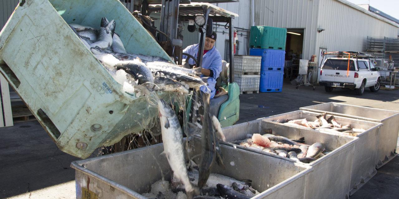 Quinault: Keep Atlantic Salmon on the East Coast