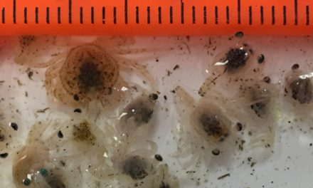 Lummi Nation samples zooplankton to improve crab management