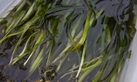 Lower Elwha Klallam Tribe and Partners Save Eelgrass in Port Angeles Harbor