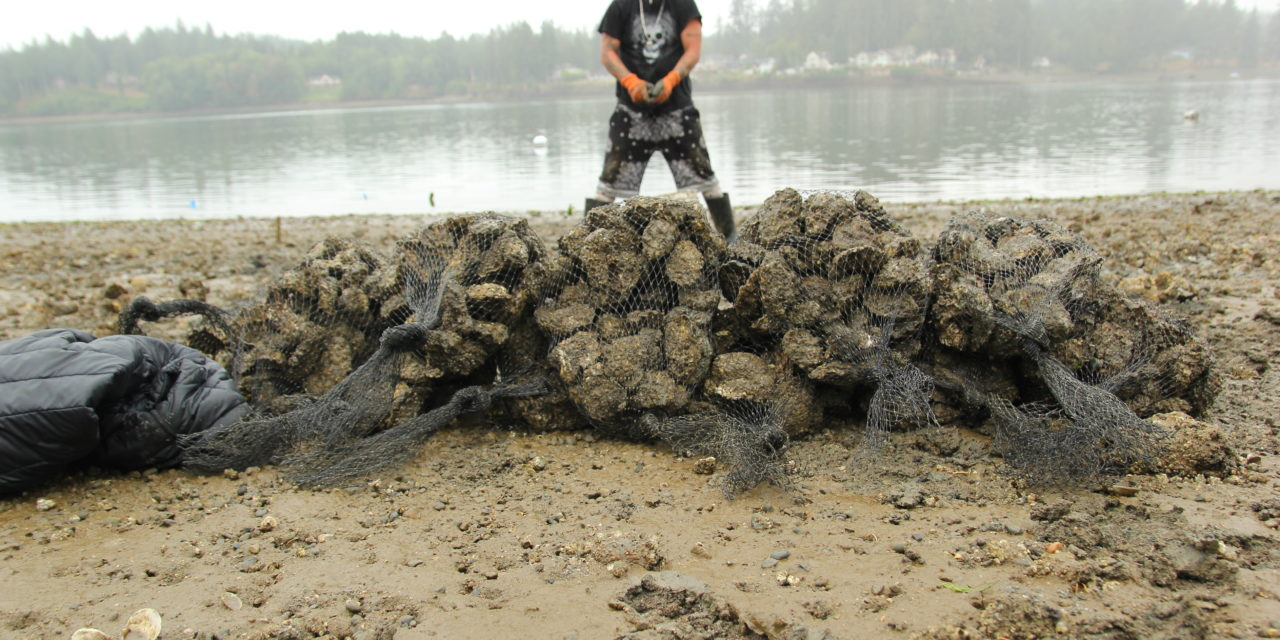 Bumper crop of oysters shared by tribe, neighbors