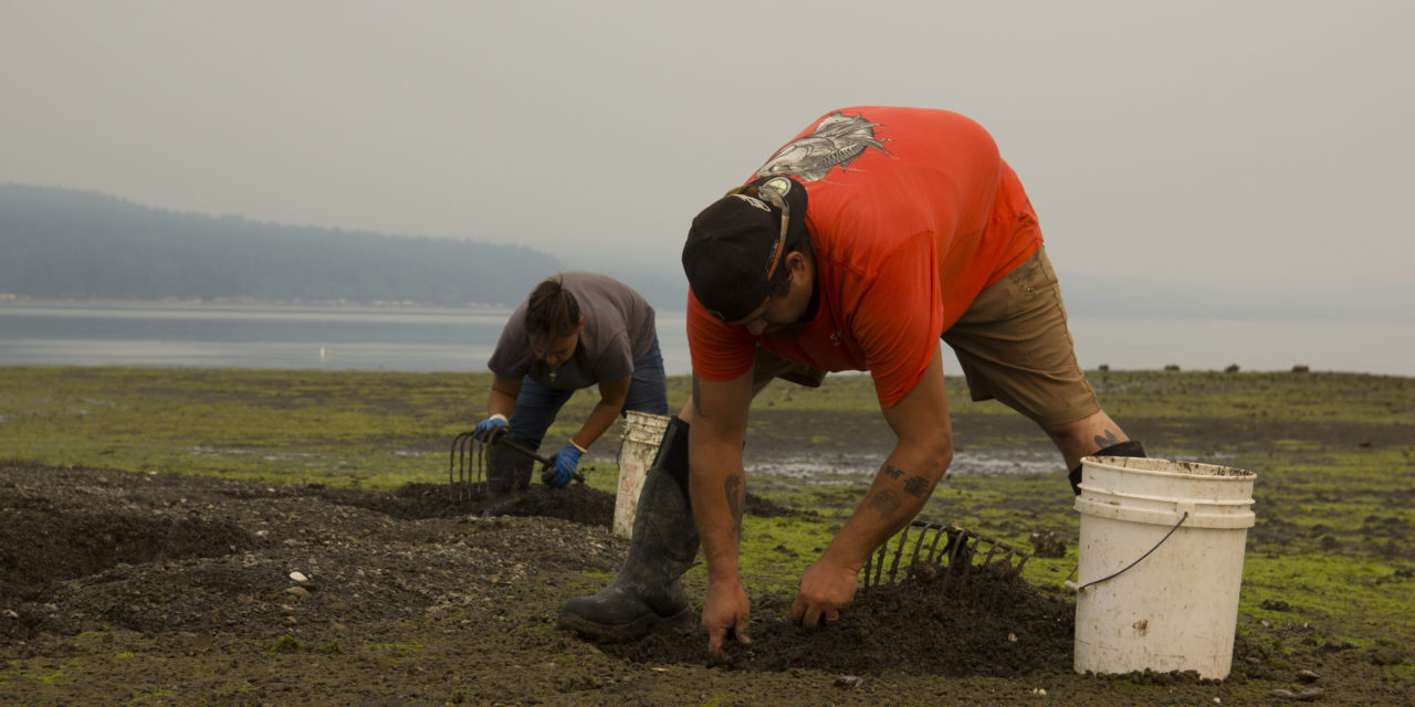 Skokomish Tribe Removes Invasive Varnish Clams, Restores Shellfish Beds