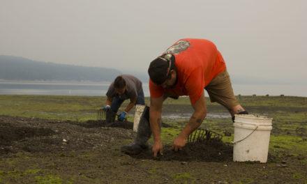 Skokomish Tribe Removes Invasive Varnish Clams, Restores Shellfish Beds