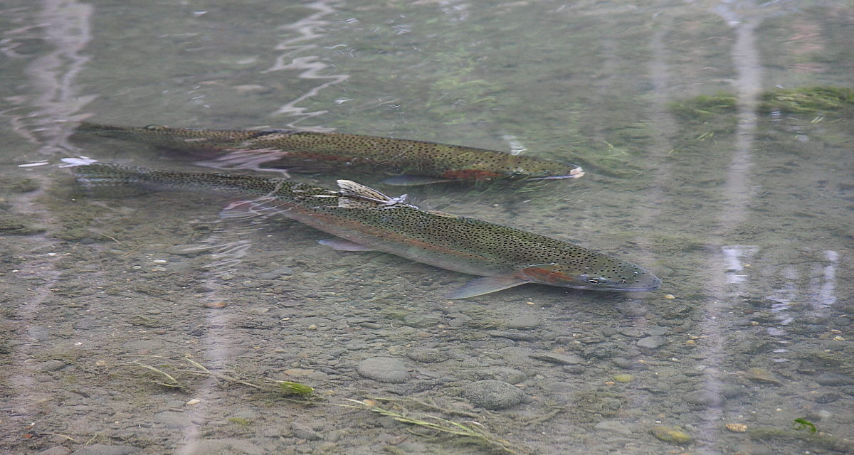 Steelhead Returning to the Elwha River
