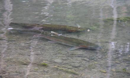 Steelhead Returning to the Elwha River
