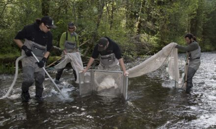 Skokomish Tribe, Tacoma Power Partner on Steelhead Repopulation Efforts
