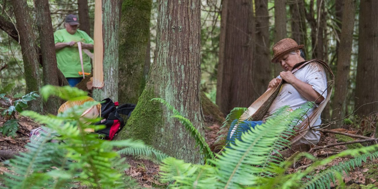 Keeping the Cedar Bark Gathering Tradition Alive